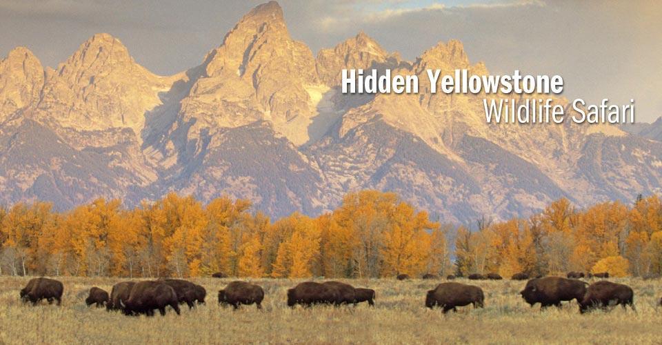 Hidden Yellowstone Wildlife Safari